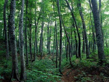 ブナ林に生息してます