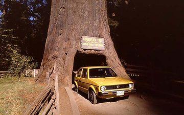 アメリカの巨木は、セコイアですね