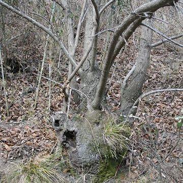 伸びた幹が定期的に伐られるので、「株立ち」という特殊な形状になります