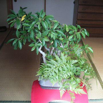 観葉植物のガジュマル