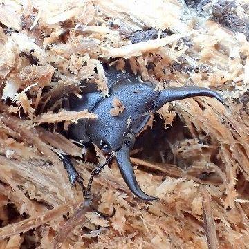 ホダ木の中から、成虫となって這い出すクワガタ