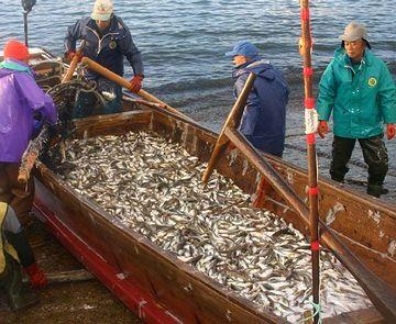 でも、70年代までの漁獲量が回復しちゃうと……