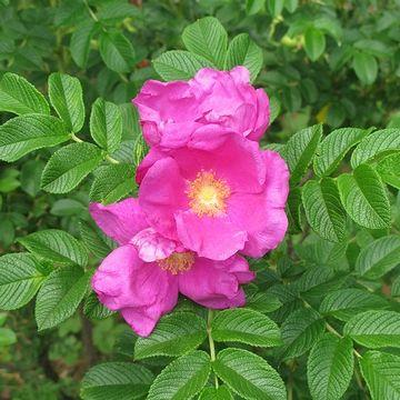 花のハマナス