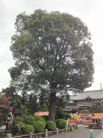 立派な立木
