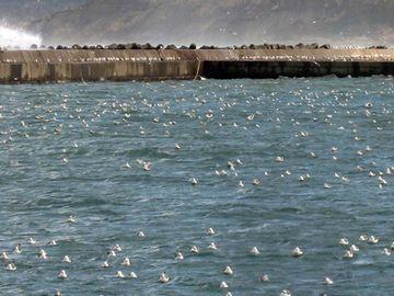 海鳥の群は、浮いてくるハタハタの卵(ブリコ)を狙ってるとか。