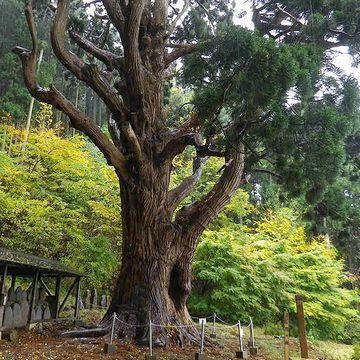 幹周り8.2メートル、樹高30メートルです