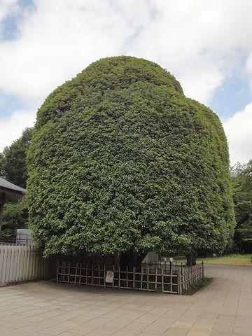 繁り放題の落葉樹とは違い、手入れがされた樹木です