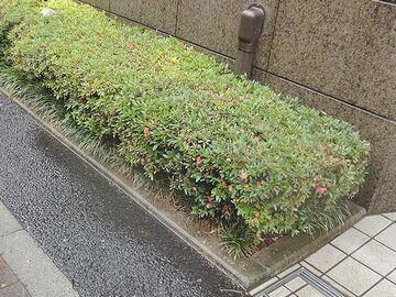 梅雨時に咲く花、サツキツツジ