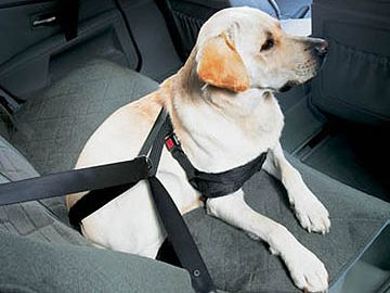 犬もすなるシートベルト