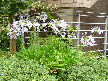 アガパンサスが咲いてました