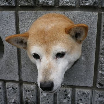 ブロック塀から覗く犬