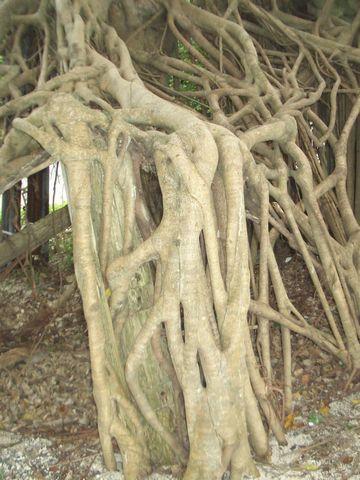 ガジュマルの樹形