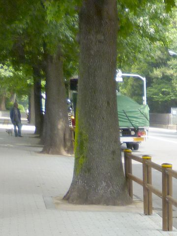 ここの街路樹も、立派な幹周り