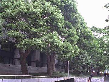 千代田区霞ヶ関桜田通りのクスノキ