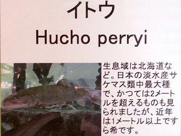 十勝川で、2.1メートルの個体が捕獲されたこともあります