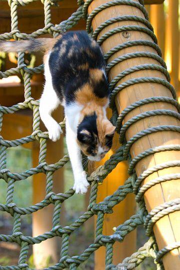 縄アスレチックに挑戦するネコ。爪を立てることも、綱を握ることも出来ないので、はなはだ難渋したそうです。