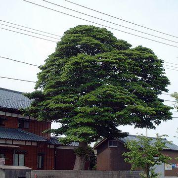 新潟市内の農家の庭にそびえるタブノキ