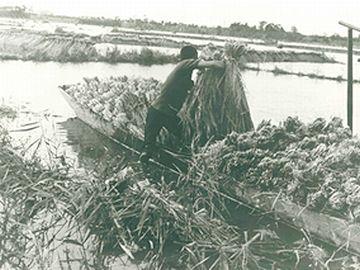 稲刈りの様子。水面に見えるところが、田です。