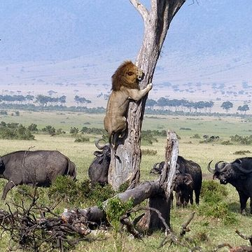 水牛の群れに囲まれ、木の上に逃げるライオン