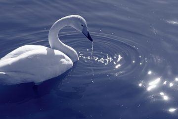 白鳥はかなしからずや空の青海のあをにも染まずただよふ