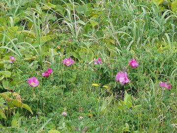 雑草に覆われたハマナス