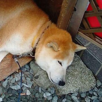 石の枕を愛用する犬