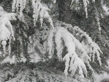 枝が柔らかく、雪の荷重に強い