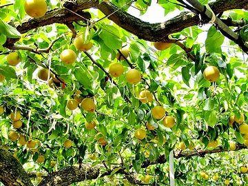 新潟は、梨の産地