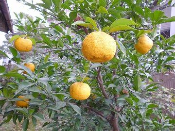 わが庭の柚の木