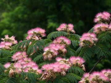 夏の初めに咲く、夢のような花が大好きだったんですが……