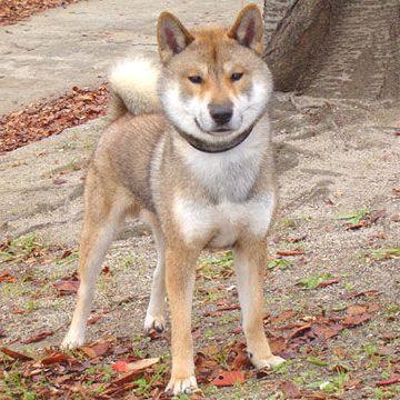 四国犬です