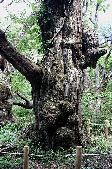『栗太郎』と呼ばれる赤城山の巨木