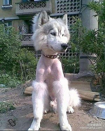 毛刈りされたハスキー犬。日本の夏は、この方が快適かも。