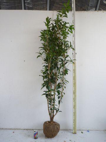 キンモクセイは、1.5メートルの苗木です