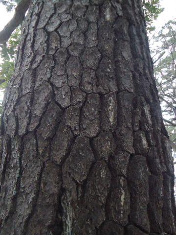 老松の木肌は、たちまち蛇の鱗のように変わった