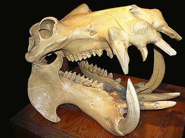 カバの骨格で見ると、よくわかりますが