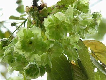 緑色の花を咲かせる桜「御衣黄(ぎょいこう)」
