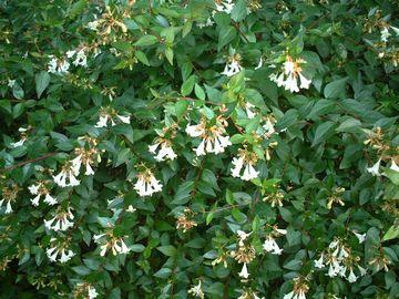 アベリアの花