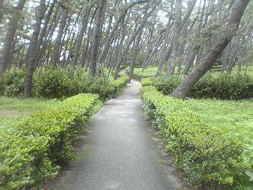 遊歩道の縁取りに、ハマヒサカキが植えられてます