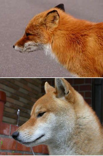 キツネ(上)と柴犬(下)