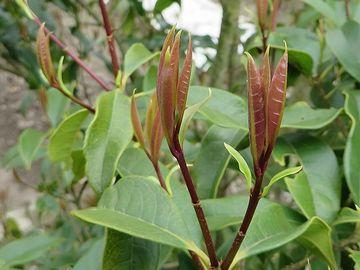 茶色っぽい新芽が、とても可憐です