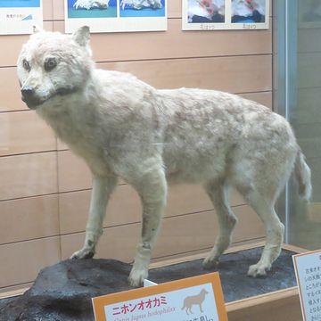 多少はオオカミっぽいですが、やはりどこか妙です