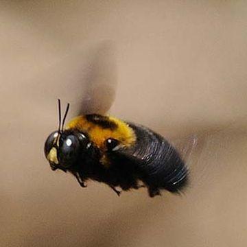 クマバチ。航空力学から見ると、飛べるはずが無いと云われて来ました。