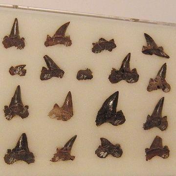 大量のサメの歯