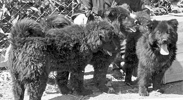 アイヌなどの北方民族が、犬ゾリや猟犬として使ってました