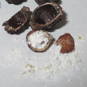 種子を割ると白い粉状のもの