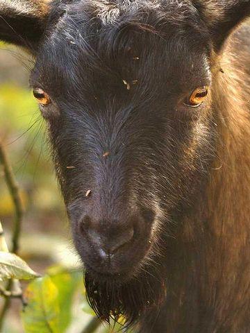 怖いヤギの目