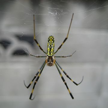 このクモ、毎年、トイレの窓の庇に網を張ります。覗きじゃなかろうか。