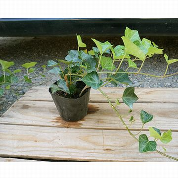 こちらはかなり大苗です。蔓を切ってコップに挿しておくと、たちまち根を出します。