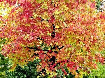 黄色と赤が混じった綺麗な紅葉